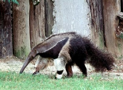 Great_Anteater (36k image)