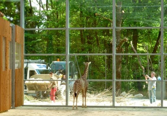 130528_Giraffen
