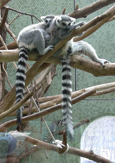 Lemuren (Katta) in Hellabrunn